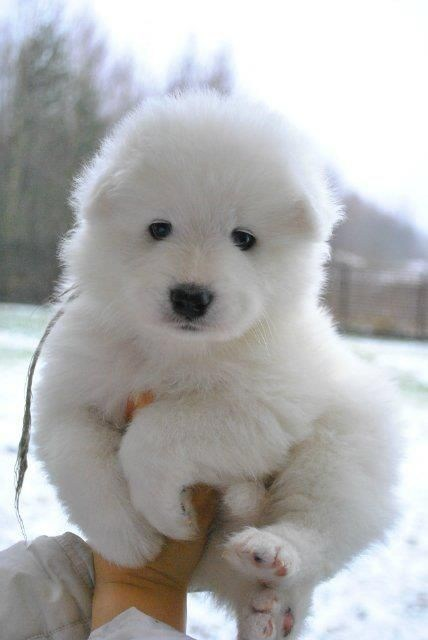 dogs snow Fluffy puffball white what breed - 7027387392