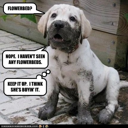 dogs puppies mud flower bed labradors golden lab dirty - 7029230848