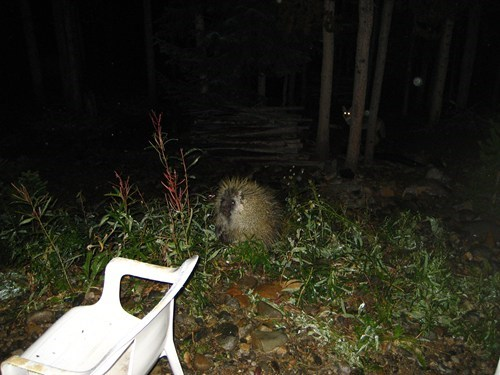 nature,porcupine,fox