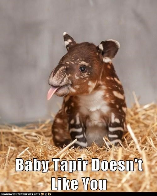 you baby animals sticking tongue out tapir - 7034330368