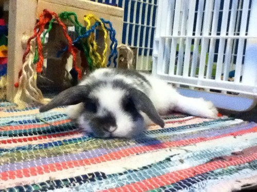 Bunday bunnies reader squee pets squee rabbits - 7034910976