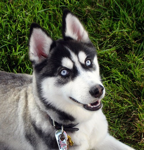 poll dogs goggie ob teh week husky results siberian husky winner