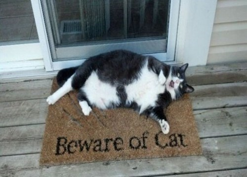 cat fat pets cute beware of cat - 7035878656