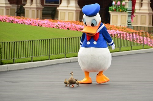 disney,donald duck,follow,ducklings,ducks,disneyland