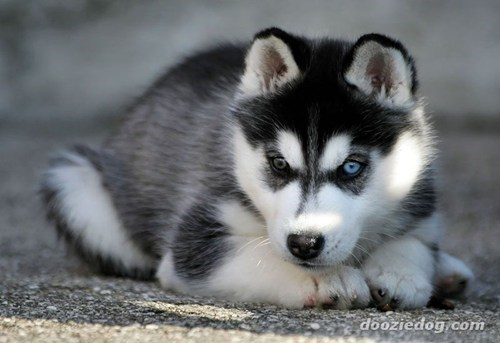 dogs goggie ob teh week husky sled dog siberian husky DNA - 7036168192