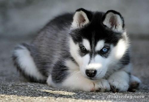 goggie ob teh week husky sled dog siberian husky - 7036168192