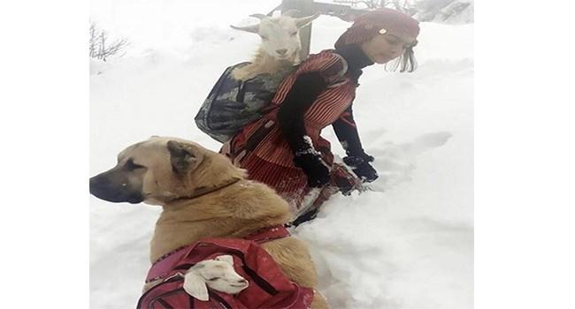 shepherd courage goats sheep amazing - 7037189