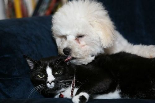poodle,dogs,whisper,tongue,kittehs r owr friends,licking,Cats
