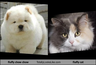 fluffy chow chow Totally Looks Like fluffy cat