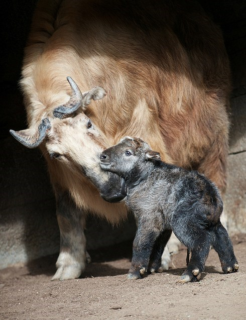 San Diego Zoo calf baby newborn squee spree squee takin - 7039371776
