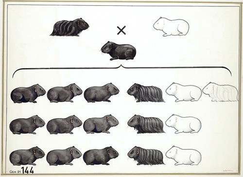 guinea pigs Genetics mendel illustration