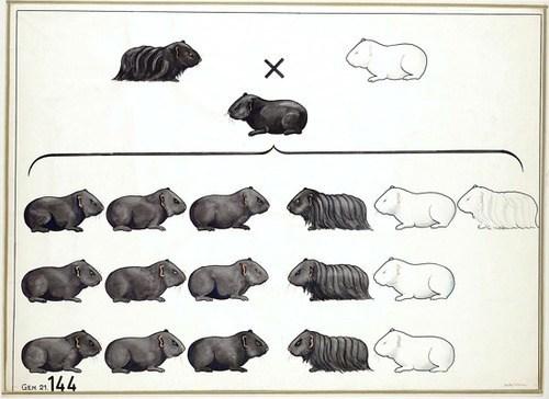 guinea pigs Genetics mendel illustration - 7039487488