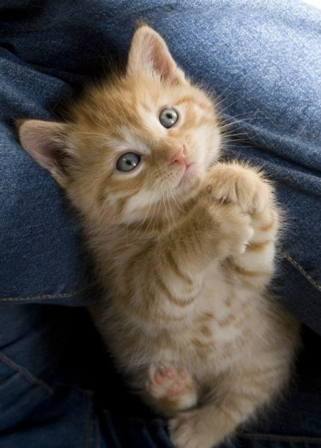 paws cyoot kitteh of teh day jeans pants stare Cats - 7039564544