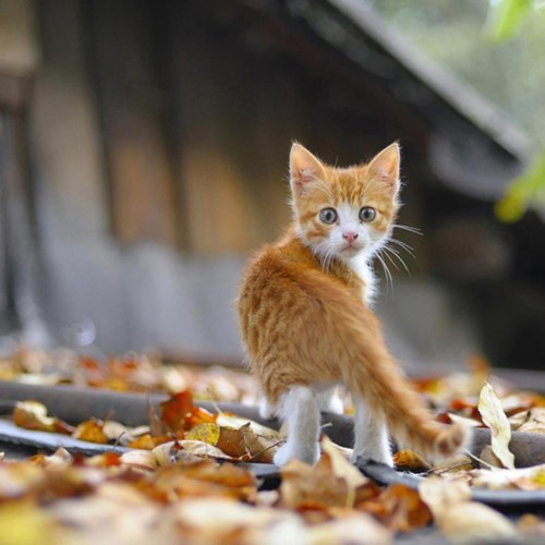 cyoot kitteh of teh day woods autumn eyes surprise look leaves Cats fall