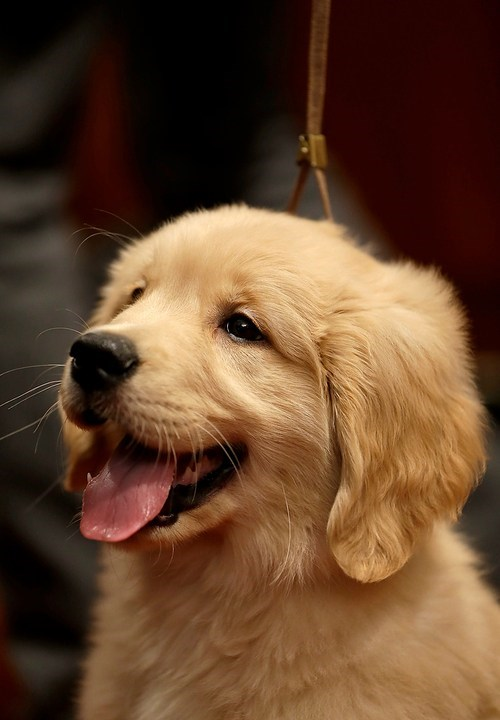 dogs puppies tongue happy golden retriever cyoot puppy ob teh day - 7039683072