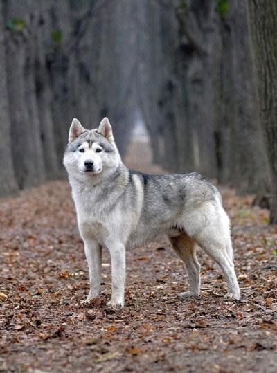 siberia goggie ob teh week husky siberian husky working dog - 7039713792