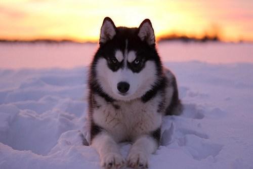 gold rush dogs alaska goggie ob teh week husky siberian husky - 7039727360