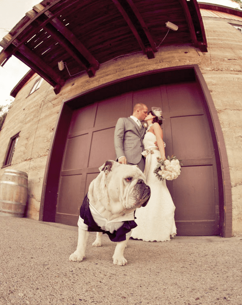 bulldog guard KISS dogs couple - 7039760896