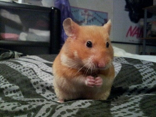 reader squee pets hamster squee - 7040655872