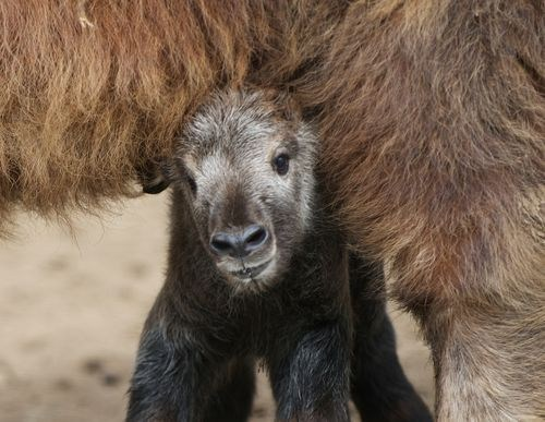 calf baby shy mommy squee spree hiding squee takin - 7041919488
