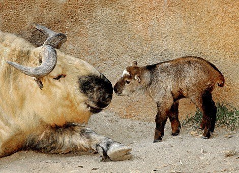 Babies calf mommy squee spree squee takin - 7041979136