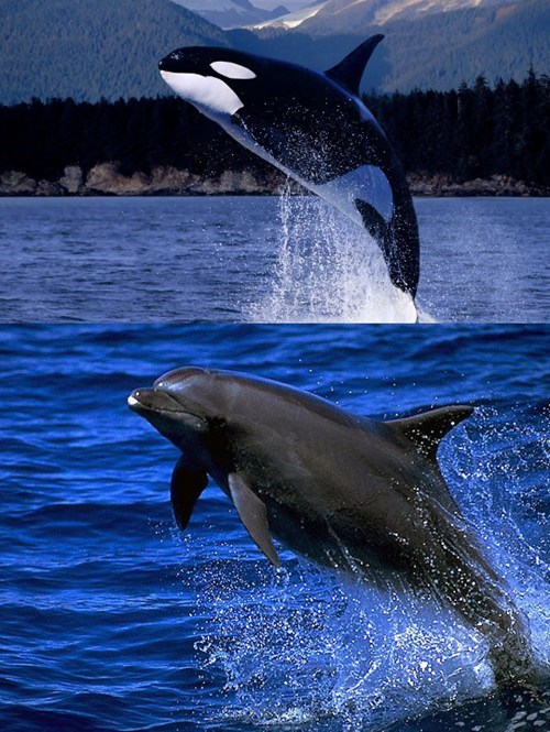poll dolphin versus bottlenose dolphin orca whale face off squee spree squee orca - 7042236160