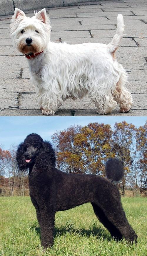 poll poodle versus goggie ob teh week face off - 7042457344