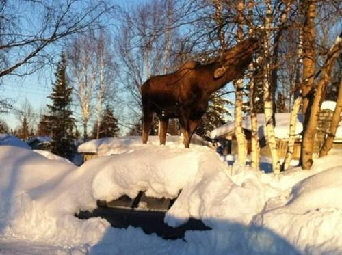 alaska,storm,snow,moose