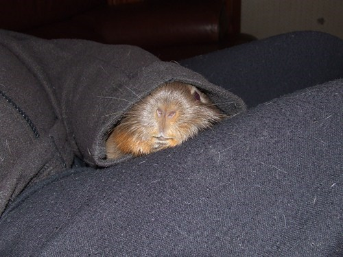 reader squee pets guinea pigs blankets squee sleepy - 7043616256
