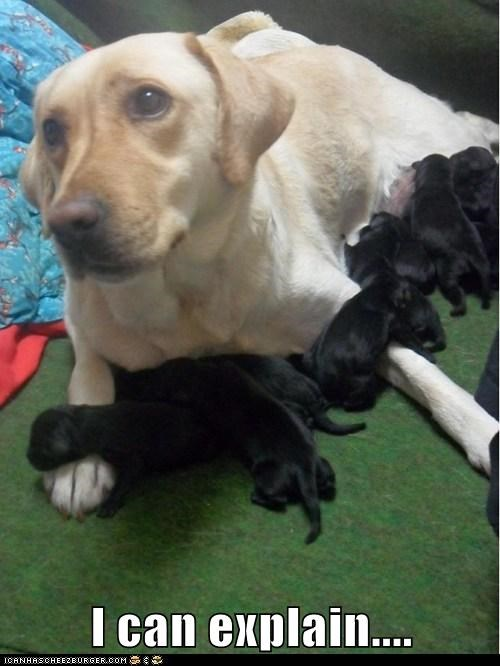 dogs,puppies,labradors,newborns,Black Lab