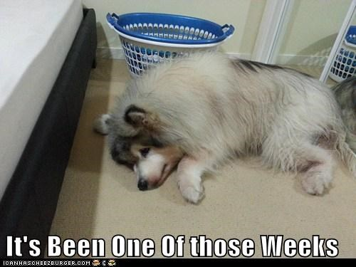 dogs,floor,huskies,rough week,sleepy