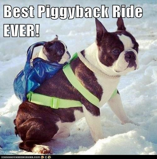 backpacks,dogs,boston terriers,snow,puppies