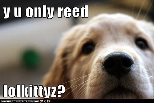lolcats loldogs puppies sad dog golden retrievers - 7046920704