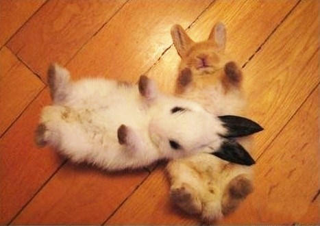 Bunday laying on back buns rabbit bunny squee