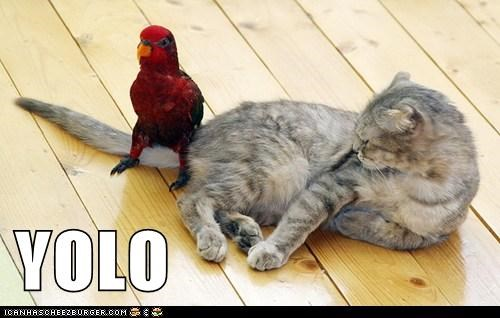 yolo,parrots,sitting,Cats,dangerous