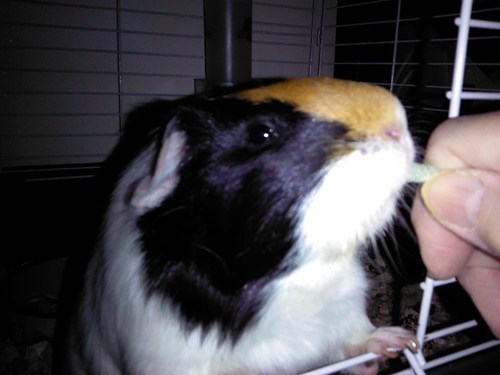 reader squee,pets,guinea pigs,squee
