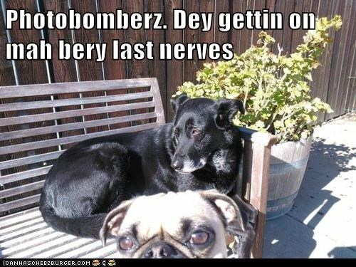 dogs photobombs pugs what breed photobomber - 7048907008