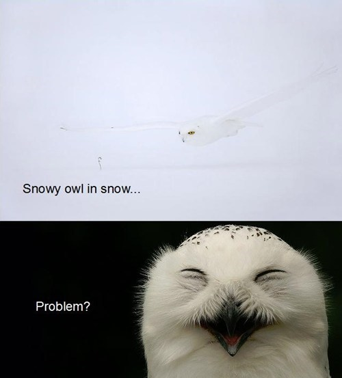 snow snowy owls problem laughing camouflaged