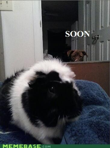 dogs guinea pigs SOON watching