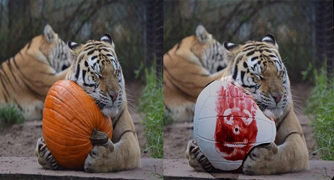 photoshop battle of a tiger with a pumpkin