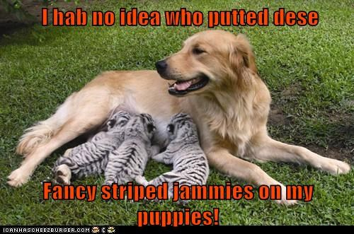Funny dog meme of a golden retriever nursing a small group of black and white tiger cubs.