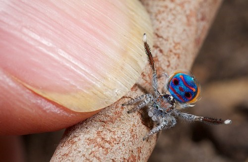 tiny spider peacock animals - 7055569152