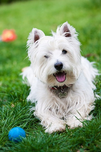 poll dogs westie goggie ob teh week results west highland white terrier winner - 7055963904