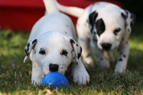fetch dogs puppies ball fetching dalmatians cyoot puppy ob teh day - 7056207104