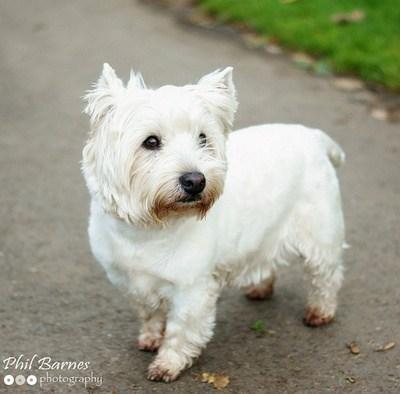 westie goggie ob teh week scotland west highland white terrier - 7056236544