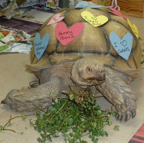 reader squee tortoise hearts squee Valentines day - 7056850688