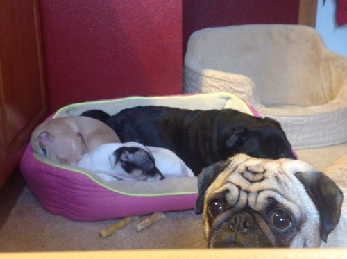 pug puppies cute dogs - 7058039296