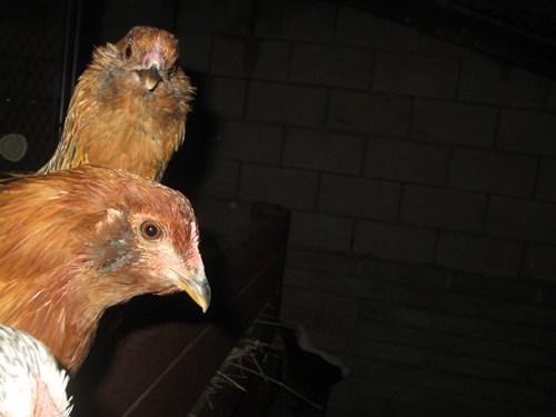 chicken animals - 7059222528