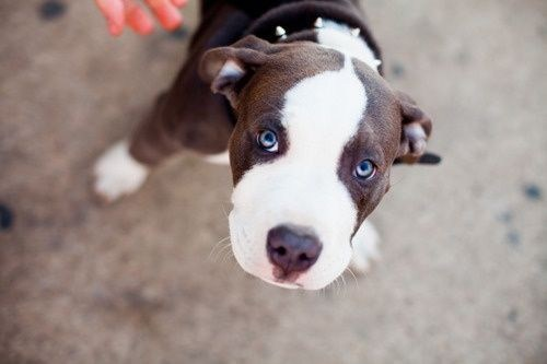 dogs pitbulls puppy dog eyes cyoot puppy ob teh day - 7059324160
