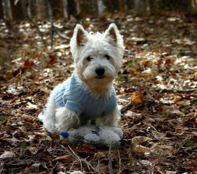 dogs goggie ob teh week westies west highland white terrier - 7059346944
